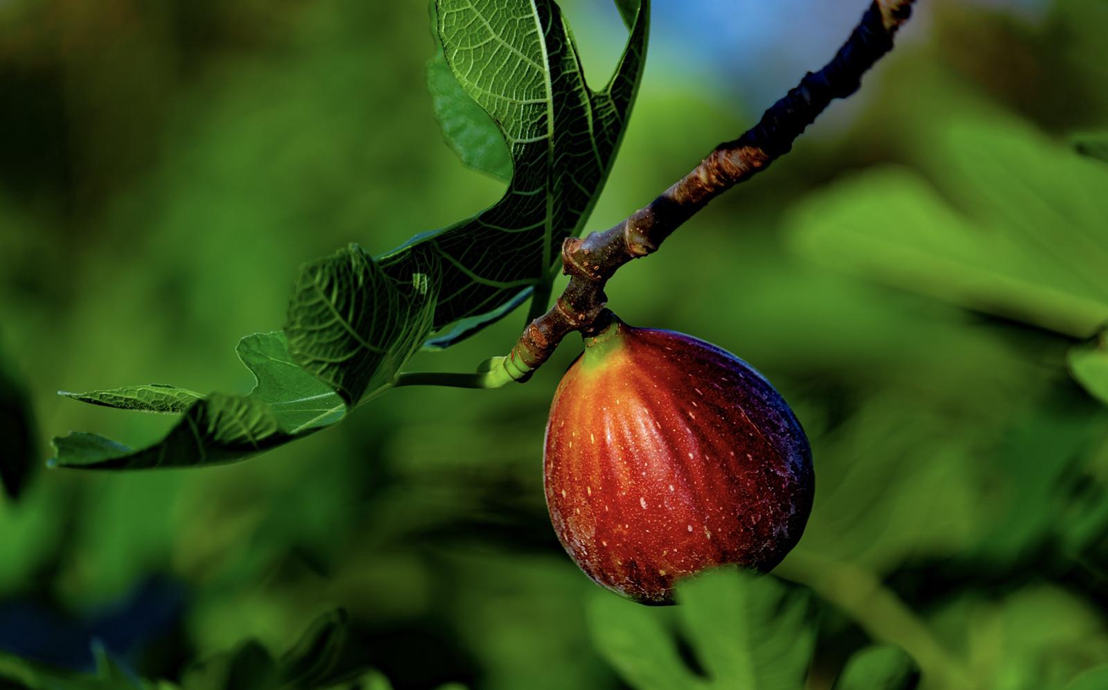 Symbolische betekenis vijgenboom